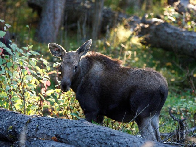 Moose calves rescued in northern B.C. now thriving, researcher says