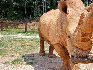 Beloved rhinoceros dies at age 49 in North Carolina zoo