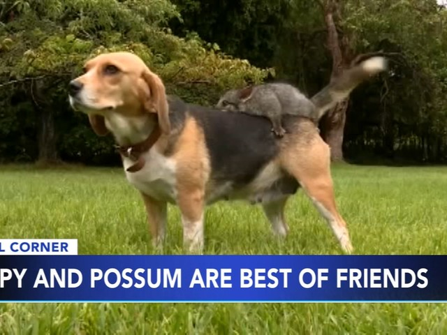 Puppy and possum become best of friends