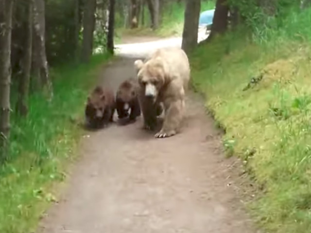 Terrifying video shows a bear and her two cubs following a man on a trail