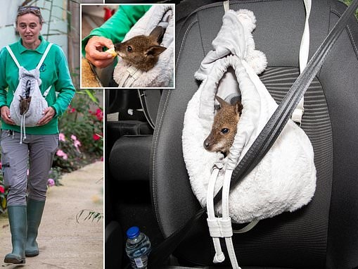 Wildlife park worker from Swindon rears baby wallaby in rucksack like a pouch