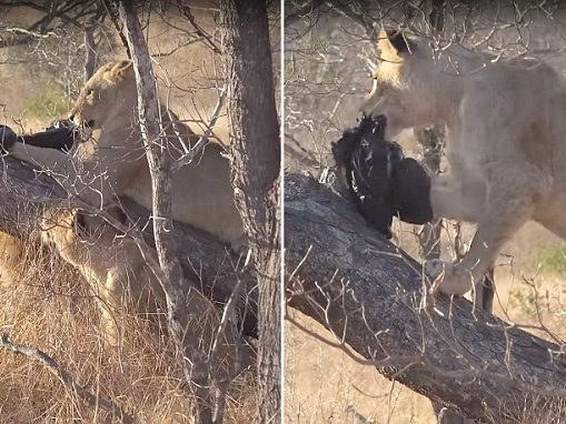 Young lions play with a black plastic bag in South Africa