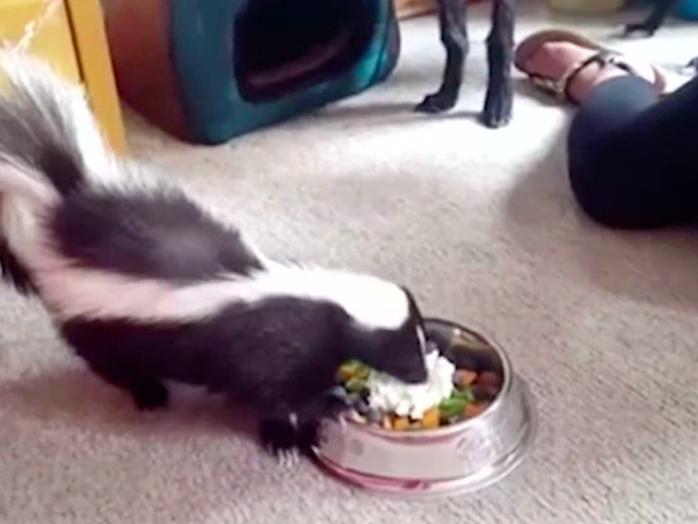Psychic Helps Sniff Out Missing Pet Skunk