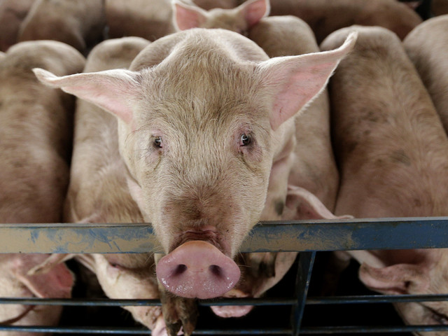 CCTV In Slaughterhouses Is A Win, But It's Only A Small One