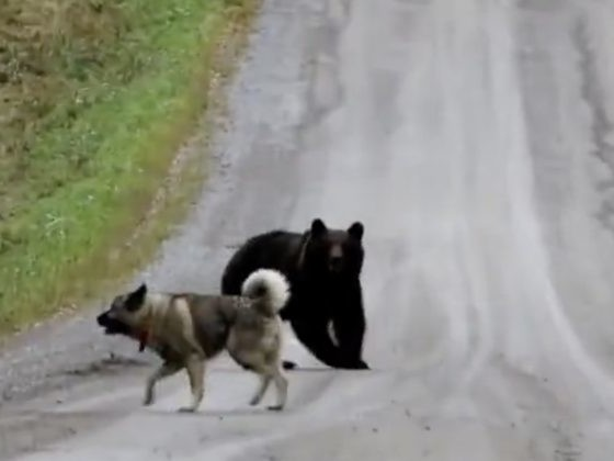 A Dog And Bear Seemed To Be Playing, But Things Got Real When The Bear Saw Humans