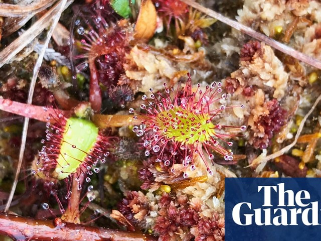 Plantwatch: England's carnivorous sundew makes a comeback
