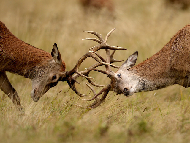Richmond Park Issues Safety Warning To Visitors After Woman Savagely Gored By Rutting Stag