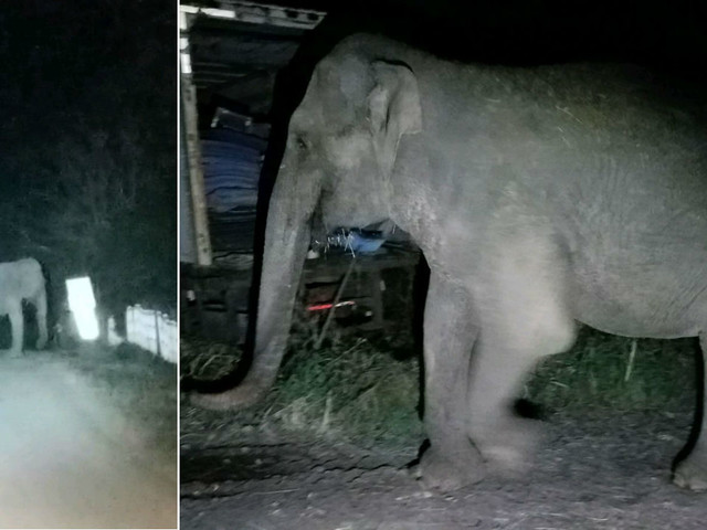 Elephant rescued from Vietnam War escorted home after escaping sanctuary