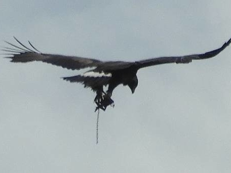 Golden eagle pictured with 'trap' attached to leg