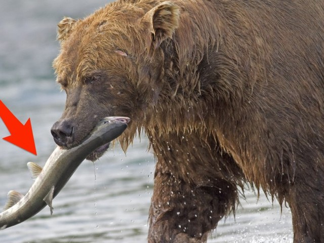 You can name a salmon after your ex then watch it get devoured by brown bears this Valentine's Day