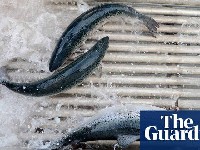 Fears for environment after 50,000 fish escape salmon farm in Tasmania