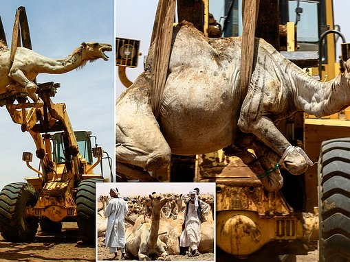 Camel traders use mobile cranes to move animals onto trucks after being sold at market in Sudan