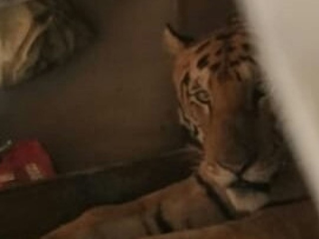 Tiger sneaks into home for catnap to escape flooding