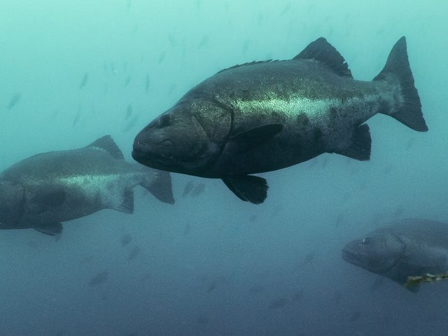 Giant sea bass: Differences in regulation and research between countries obscures population health
