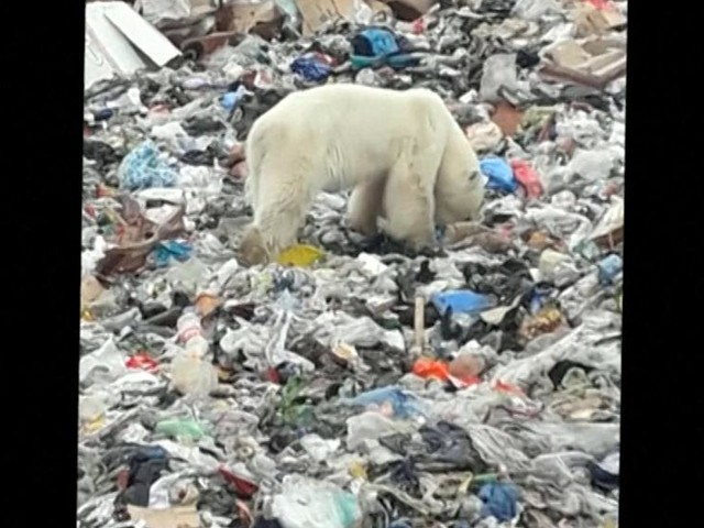 Hungry polar bear seen hunting for food in city far south of habitat