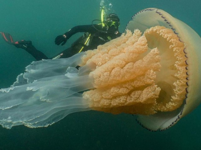 Giant jellyfish in Cornwall 'not a monster from the deep'