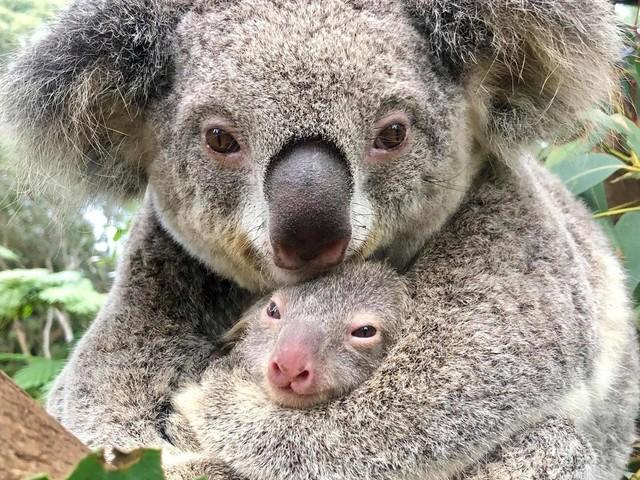 'It was such an incredible moment': Australian wildlife centre celebrates first koala born since devastating bush fires