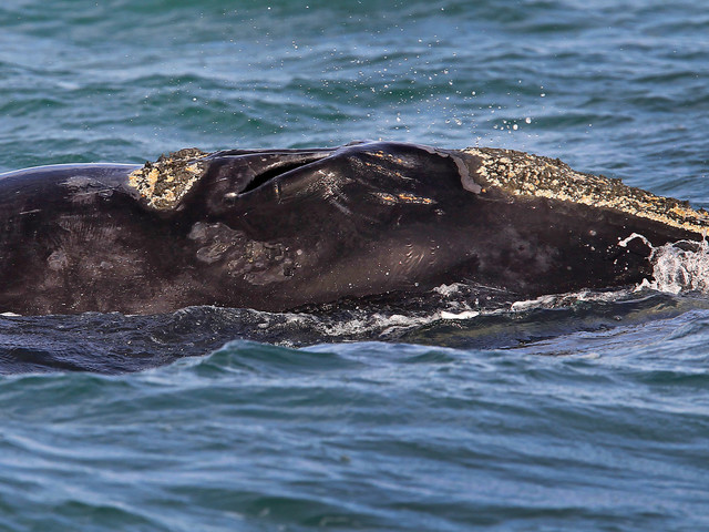Right Whales Could Face Extinction After Deadly Year, Researchers Say