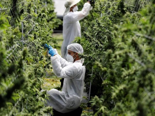 Insider Cannabis: Dismal earnings for Canadian cannabis — Six-figure cannabis jobs — Psilocybin as depression drug