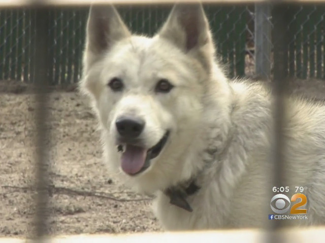 Family Surrenders Illegally Bought Wolf After Animal Becomes Aggressive