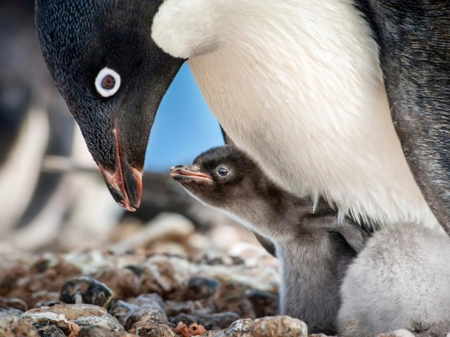 """Disneynature's """"Penguins"""" to be Released in IMAX on April 17"""
