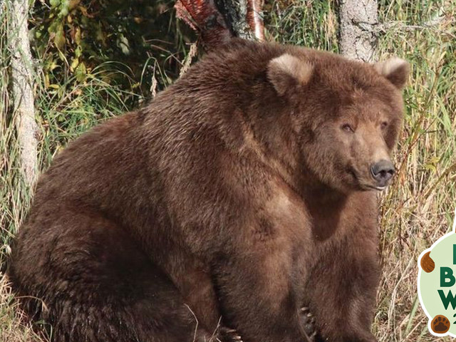 Why the reigning fat bear champion isn't in the contest this year