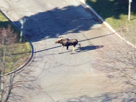 Moose dodges traffic in southern Ontario suburbs