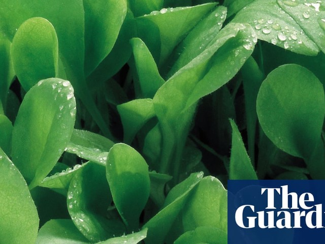 How to grow chicory | Alys Fowler