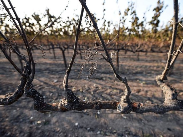 After the Fires, What Will Become of California's Wine Crop?