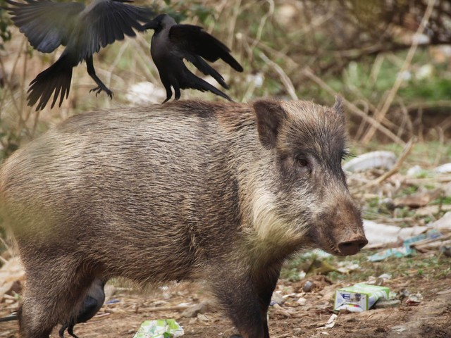 Growing numbers of wild boars, some of which are radioactive, are menacing major cities across the world