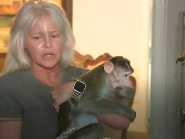 US woman who has three emotional support monkeys campaigns to keep 'dangerous' animals