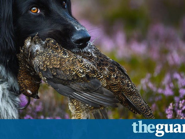 Grouse shooting: half a million reasons why time's up for this appalling Victorian 'sport' | Mark Avery