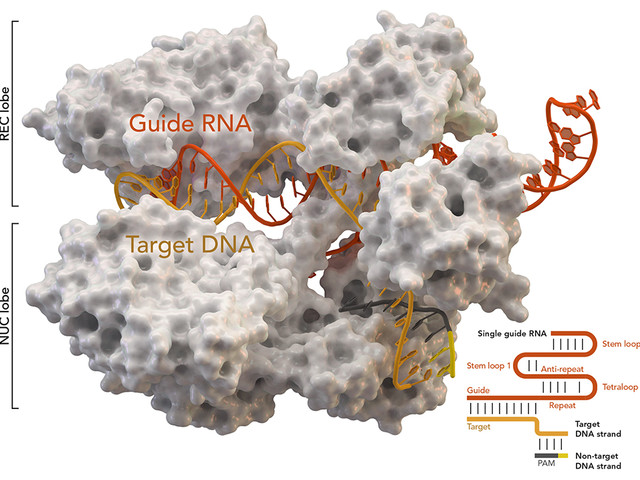Largest study of CRISPR-Cas9 mutations creates prediction tool for gene editing