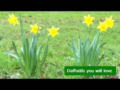 London's best ultimate secret daffodils