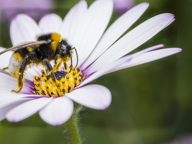 In bee decline, fungicides emerge as improbable villain