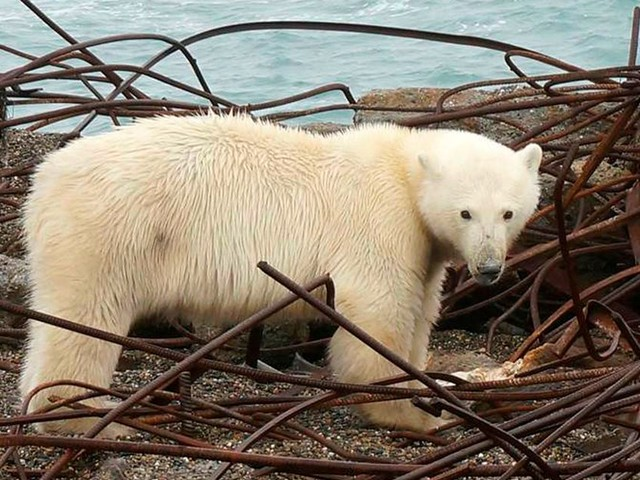 Village under siege from 20 polar bears that drove frightened walruses to dive off cliffs to their deaths