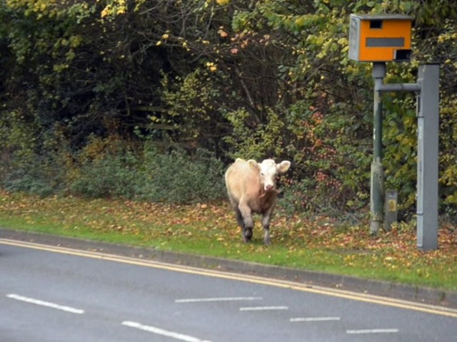 Watch: We've tracked down the bull rampaging around Solihull