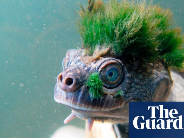 The punk turtle: the reptile with a green mohican became a sensation, but still faces an uncertain future