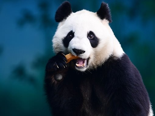 China is using facial recognition to track and monitor giant PANDAS for conservation database