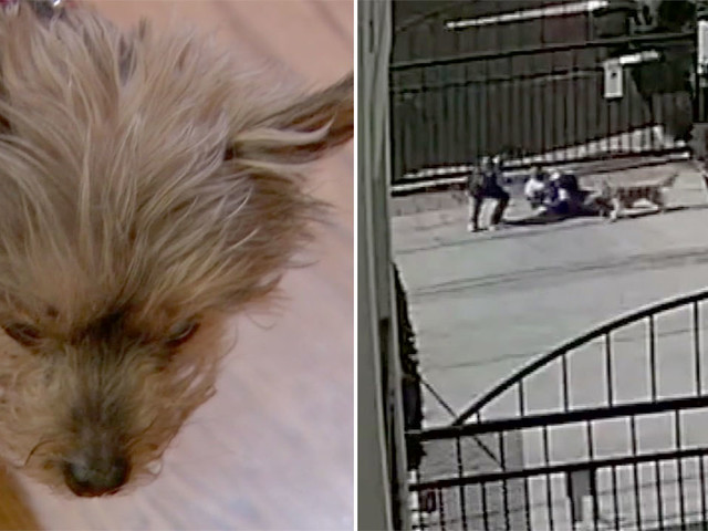 Owner of mauled Yorkie wants handler of unleashed dog held responsible for attack