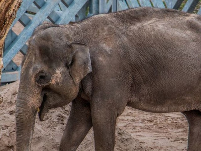 The UK's largest indoor elephant house opens at Blackpool Zoo