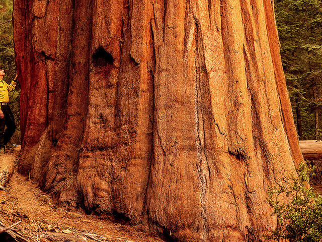 The battle to save Earth's largest tree from California's wildfires