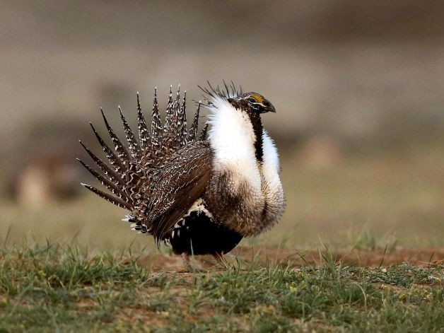 Feds Move to Expand Drilling by Undoing 2015 Deal to Protect Bird