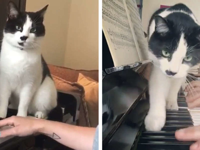 Piano Teacher's Cat Always Insists On Being The Center Of Attention