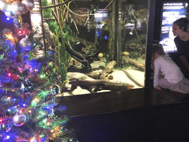Meet Miguel Wattson, the electric eel lighting his aquarium's Christmas tree and tweeting about it