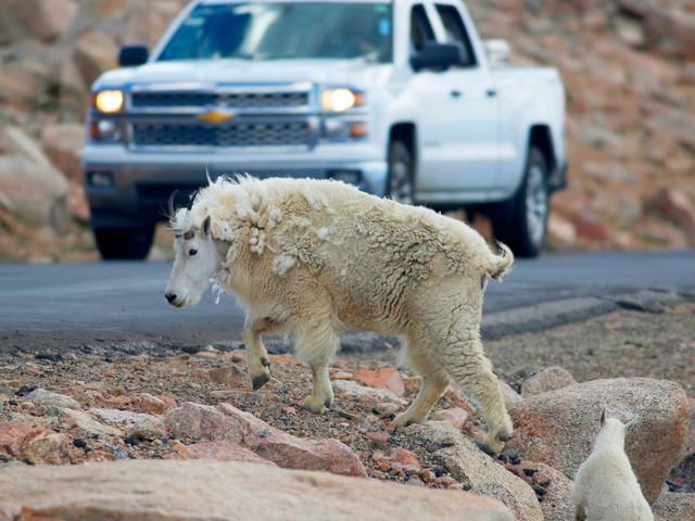 Sharpshooters to kill non-native goats in Grand Teton National Park