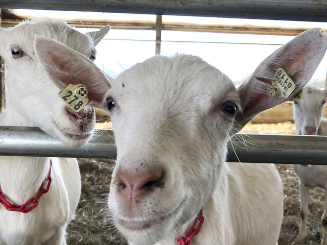 Family farm swaps cows for goats amid changed dairy industry