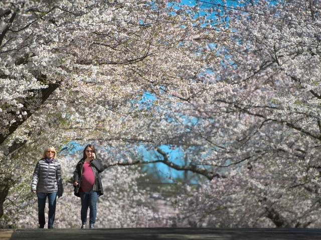 Six spots where you can enjoy the cherry blossoms — without big crowds