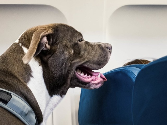 Feds Want to Rein In 'Emotional Service' Animals on Planes