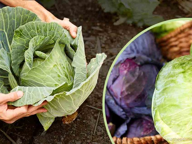 All About Growing Cabbage